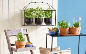 Pflanzen für Tee, Limonade und Cocktails selbst anbauen